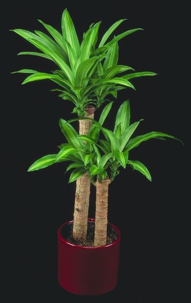 Massangeana Corn Plant